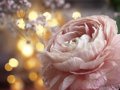 A   S E N C E   O F   P U R I T Y (Vivi Black) Tags: january home inside schönheit love romance bokeh macro flower beauty purity