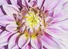 inner glow (rockinmonique) Tags: flower bloom blossom petal pink yello filltheframe dahlia stalbertbotanicgarden moniquew canon canont6s tamron tamron90mmmacro copyright2018moniquewphotography