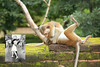 "Monkeys Re-creating Iconic Photos-Sailor and a Nurse (Pavlo Kuzyk) Tags: monkey funny humor humour animal mammal ""animalkingdom"" canon"