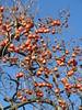 Winter stroll in Montevecchia (Londrina92) Tags: montevecchia lecco lombardia lombardy brianza cachi fruit tree albero winter inverno gennaio janaury sunny clear sky cielo terso hiking walking
