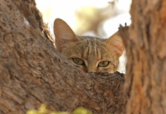 African Wild Cat/Chat sauvage africain (safrounet) Tags: kgalagadi southafrica afriquedusud sand sable ecureuil squirrel awc chat africanwildcat chatsaugageafricain mangouste mangoustejaune yellowmongoose hare lapin lièvre lièvredesbuissons mongoose scrubhare