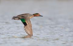 Green-winged Teal drake if Gilbert water ranch az (mandokid1) Tags: canon canon500f4 1dx birds duck waterfowl arizona