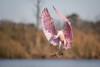 On Final (gseloff) Tags: roseatespoonbill bird flight bif pink nature wildlife animal water grass bayou horsepenbayou pasadena texas kayak gseloff