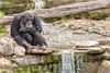 Deep in thought (claudia@flickr) Tags: animals australia mosman nsw tarongazoo chimpanzee newsouthwales au