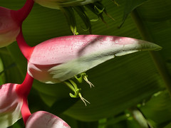 Heliconia flowers, Trinidad (annkelliott) Tags: trinidad island caribbean westindies asawrightnaturecentre nature tropical flora plant flower heliconia heliconiachartacea inflorescence bracts hanging drooping panicles rainforest leaves foliage outdoor 19march2017 fz200 fz2004 panasonic lumix annkelliott anneelliott ©anneelliott2017 ©allrightsreserved