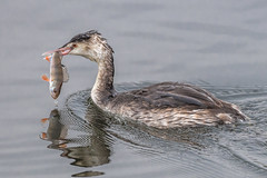 Perch for dinner (Rivertay07 - thanks for over 4 million views) Tags: greatercrestedgrebe podicepscriptatus perch fish dinner richardstead rivertay copyrightprotected hertsandessexwildlifetrust