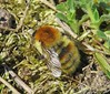 Bombus humilis queen - Whiteford Burrows, The Gower 2017a (Steven Falk) Tags: bombus humilis brownbanded carder bee apidae steven falk
