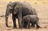 The Little Family (AnyMotion) Tags: africanelephant afrikanischerelefant loxodontaafricana elephants elefanten familypicture familienbild babyelephant 2015 anymotion tarangirenationalpark tanzania tansania africa afrika travel reisen animal animals tiere nature natur wildlife 7d2 canoneos7dmarkii ngc npc
