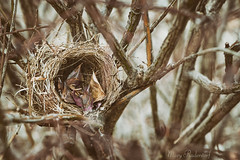 Empty Nest Syndrome - For Rent.jpg (mraderstorf) Tags: 2018 lonely winter bush home outdoor 105mm cold gone abandoned project365 flown 365project nature 365 emptynest branches nikond700 frozen vacant deserted unoccupied bird macro f28
