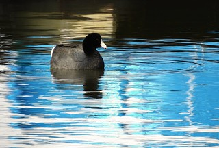 Coot hanging around the boat rental dock.