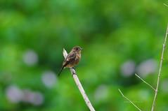 Pied Bushchat (theviewfinder) Tags: birds nikon midhun midhunthomas midhunjohnthomas flickerbirds bangalore wildlife bushchat