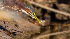 Green Heron 025 (RRcoleJR Photography) Tags: 1 animalia ardeidae aves avian betterbeamer bird bokeh butorides butoridesvirescens chordata close closeup dof flashextender godox godoxv860iio greenheron heron horsepenbayou houston hunting neoaves neognathae neornithes pelecaniformes texas usa v860iio water alone ascend ascendh12 ascendoutdoors bay bayou flash fx3 head headonly headshot hunter marsh marshland marshy narrowdof ocean predator profile river side sideview sideways single swamp swampland swampy