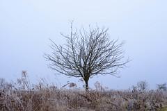 Baum auf dem Felde (bernhard huber) Tags: niederösterreich kirchbergamwagram winter unterstockstall nature natur loweraustria donau regionwagram