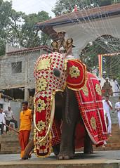 Kandy Day Perahera (1X7A4695b) (Dennis Candy) Tags: srilanka ceylon serendib kandy esala day perahera festival celebration parade procession street religion buddhism culture tradition heritage gajanayake nilame official elephant caparison costume