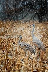 Sandhill Cranes In The Snow (jwfuqua-photography) Tags: pennsylvania sandhillcrane on1pics jwfuquaphotography jerrywfuqua buckscounty nature