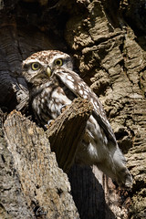 Little Owl in a big Tree (NikonNigel) Tags: copyright©nigelcox copyrights