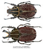 Inca clathrata Olivier, 1792 (Easyparadise) Tags: beetle collection coleoptera metal color insect nature animal scarab specimen macro entmology museum cetoniinae biodiversity 昆虫 甲虫