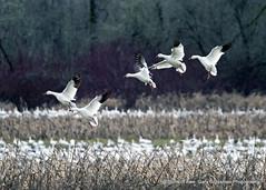 Sea Of Snow Geese (Gary Grossman) Tags: flock geese beauty birds nature wild wildlife waterfowl garygrossmanphotography snowgeese sauvieisland landscape lowlight pacificnorthwest winter winterlight birdsinflight wildlifephotography
