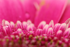IMG_8608_1_2018-StilLife_flower_W (InesLFGuerriero) Tags: 2018 flower macro pink stillife stilllife canonef100mm ef100mm canon macrophotography nature color
