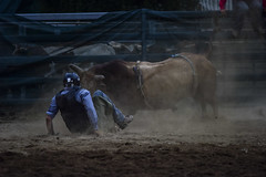 The Dance of the Damned (Paulo McIver) Tags: coomarodeo2018 rodeo bullriding australianalps australianalpshorses cooma cowboys environment energy festival fairground highcountry horseman horsemen monaro ngarigo paulmciver southeastaustralia southeastnewsouthwales snowymountains southeastnsw snowyriver saddlebronk