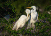 Happy Valentines Day! (Amy Hudechek Photography) Tags: love breeding great white egret pair smithoaksrockery texas spring amyhudechek