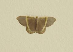 Borboleta (Butterfly) (Hélio Paranaíba Filho) Tags: borboleta butterfly panapanás panapanãs lepidoptera hesperioidea papilionoidea rhopalocera holometabolismo pieridae nature natureza insetos inseto insect insects bug bugs