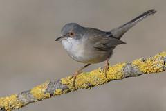 _SEN5293-E (Sento74) Tags: currucacabecinegra sylviamelanocephala aves birds fauna nikond500 tamron150600g2