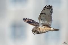 SEO - Dorset (Mr F1) Tags: wild free seo shortearedowl johnfanning portland dorset uk feathers wings detail nature outdoors bif birdsinflight raptor talons bop birdsofprey