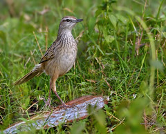 Why they call it a Grassbird (Grandpa@50) Tags: challengeyouwinner cyunanimous