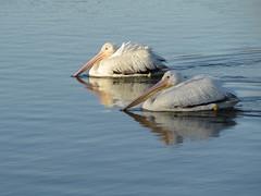Pelicans (nohojim) Tags: water birds wildlife