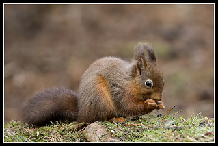 IMG_0124 Red Squirrel