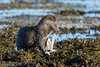 Otter v Octopus (Simon Stobart (Catching Up and Editing)) Tags: otter lutralutra octopus scotland shore weed water sunshine naturethroughthelens ngc coth5 npc
