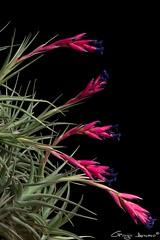 Tillandsia aeranthos (Giorgio Armano) Tags: fiore focus flower fiori tillandsia aeranthos nikon macro helicon