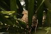 Tortola Rabiche, Mourning Dove (Zenaida macroura) (Gogolac) Tags: 2018 aves birdphotography birdie birds canon7dmii columbinapasserina fauna invierno location rolita sabanadelamar season winter year birdspot birdingrd birdsspotters commongrounddove republicadominicana