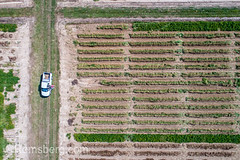 Looking directly down at neat rows of peanut crops and a single white work truck sitting idle in field, Tifton, Georgia. (Remsberg Photos) Tags: farm georgia peanuts tifton peanutplant groundnut goober arachishypogaea legume crop nut outdoors thesouth southerncrop americansouth field southern plant agriculture aerial drone rows neat pattern truck organized highangle usa