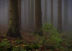 next generation tree (vd1966) Tags: wald stamm nadelbaum waldboden nebel fog tree forrest dark moody dunkel unheimlich