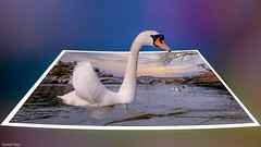 The Swan (YᗩSᗰIᘉᗴ HᗴᘉS +11 000 000 thx❀) Tags: swan nature faune fauna outofframe out outthebounds hors 3d hensyasmine yasminehens namur belgium belgique bel be water photo camera river bélgica