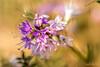Couleurs et soleil d'hiver...! - Colors and winter sun ...! (minelflojor) Tags: fleur pistil pétale pollen anthère filet stigmate style macro bokeh flou fondu tige flower petal anther stigma blur fade stalk