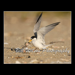 least tern chick (wildlifephotonj) Tags: leasttern leastterns leastternchick wildlifephotographynj naturephotographynj wildlifephotography wildlife nature naturephotography wildlifephotos naturephotos natureprints birds bird beachbirds
