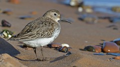 Dunlin (KHR Images) Tags: dunlin calidrisalpina wader calidrid newburgh bat aberdeenshire small dumpy plump scotland scottish wildlife nature nikon d500 kevinrobson khrimages