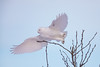 White Ghost (Peter Stahl Photography) Tags: snowowl owl snowy snow perch tree winter wildlife