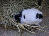 Face Buried in the Hay (Jesse&Lisa) Tags: bunny rabbit lionhead ophelia