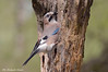 Ghiandaia _009 (Rolando CRINITI) Tags: ghiandaia uccelli uccello birds ornitologia tricerro natura
