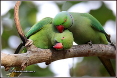 7636 - parakeets (chandrasekaran a 47 lakhs views Thanks to all) Tags: parakeet birds nature india chennai canoneos80d tamronsp150600mmg2