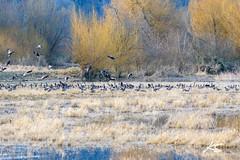 _DSC6372.jpg (kasperisummanen) Tags: birds nisquallynationalwildliferefuge wa pnw wildlife