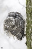 ''Dormir d'un oeil!'' Nyctale tengmlam-Boreal Owm (pascaleforest) Tags: hibou owl passion nikon nature wild wildlife faune snow neige winter hiver québec canada arbre wood oiseau bird