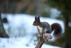 Eurasian Red Squirrel (Fredrik Stige/Wildlife Photography) Tags: redsquirrel squirrel mammals wild nature norw winter wildlife norway eurasianredsquirrel sciurusvulgaris