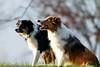 sized_HP20180113-145304 (Hetwie) Tags: chevvy cooper dodge brouwhuis aalscholver jeanneke honden eend mexx dogs jessy helmond noordbrabant nederland nl
