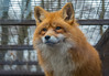 Európai vörös róka (Vulpes vulpes vulpes) (Torok_Bea) Tags: európai vörös róka vulpes vörösróka nikon nikond5500 budakeszivadaspark vadaspark animail wild wildanimal animal redfox fox