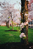 not long to wait, part four (manyfires) Tags: film analog sakura pdx portland oregon pnw pacificnorthwest cherrytrees cherrytree flowers spring blossom bloom pink nikonf100 35mm downtown waterfrontpark trunk sunrise golden magichour